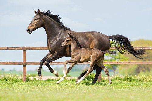 Galopperend paard samen met haar veulen van