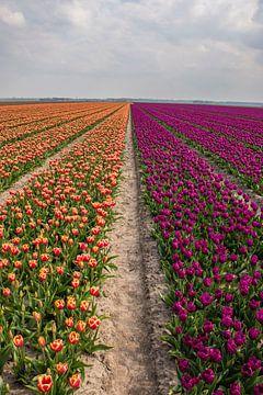 Holländische Tulpenfelder von Bianca Kramer
