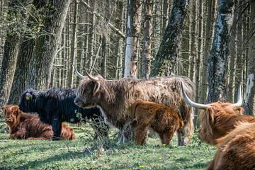 Schottischer Hochlandbewohner von Ron Hermans