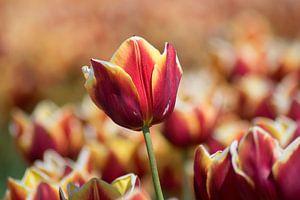 Tulip van