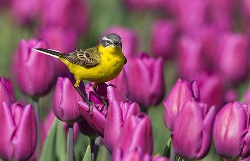 Gele Kwikstaart staand op een tulp in een tulpenveld van