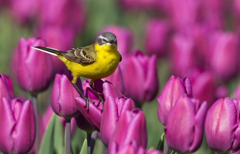 Gele Kwikstaart staand op een tulp in een tulpenveld