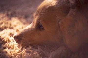 Golden Retriever in der Sonne von Patruschka Hetterschij