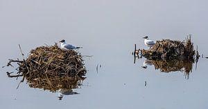 Wasservögel auf ihrem Nest ( Lachmöwen ) von jacky weckx