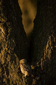 Jüngere Waldkauz im letzten Abendlicht von Jeroen Stel