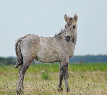 Jong Konikpaard van Hannie de Graaff