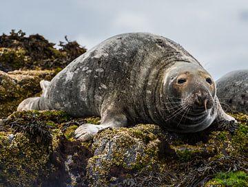 Zeehond op de rotsen van Robin Voorhamm