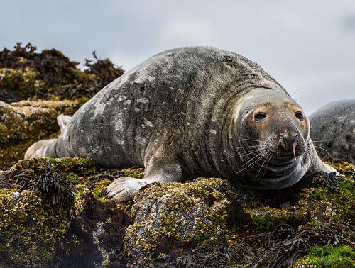 Zeehond op de rotsen