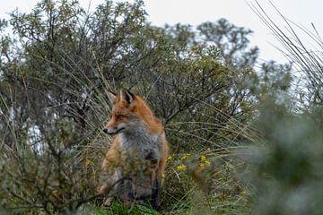 Fuchs auf der Düne von Merijn Loch