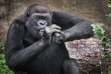 Das Gorillaweibchen nagt fleißig an etwas Hartem, fletscht die Zähne, kneift die Augen vor Anstrengu von Michael Semenov