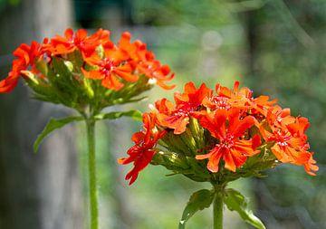 Prachtige oranje rode bloemen, close up van Bianca ter Riet