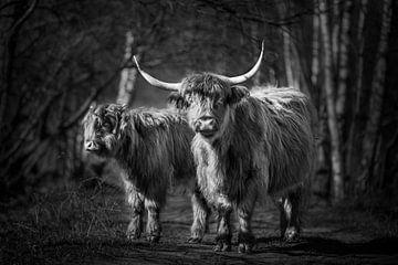 Schotse Hooglanders in het bos in zwart-wit
