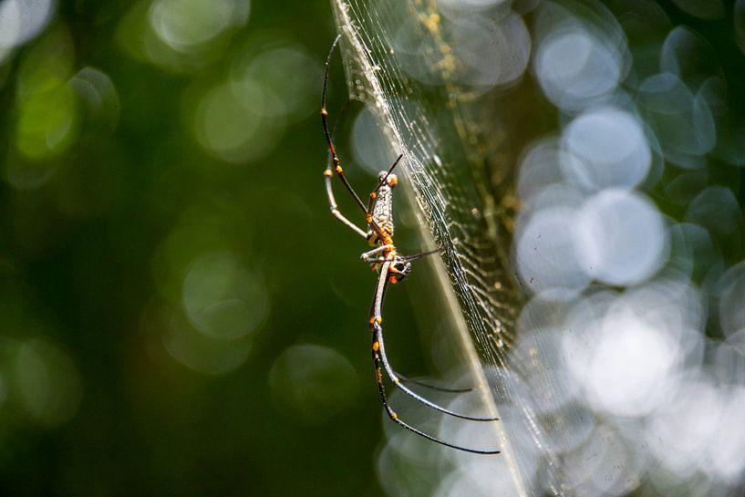 Spider in web van Bram de Muijnck