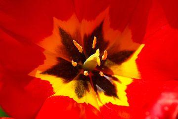 Tulpe, Blütenstempel