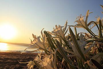 Strand narcis zonsopkomst Griekenland Kreta van Bobsphotography