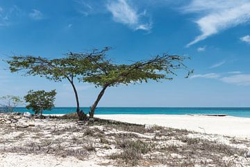 Divi divi boom op palm Beach Aruba von eusphotography