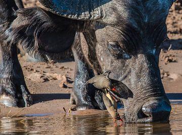 Ossenpikkers op buffelkop von Erwin van Liempd