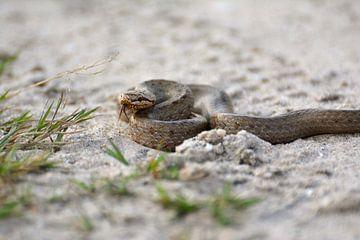 Gladde slang von Roy Zonnenberg