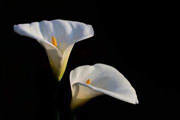 Zwei Blüten der Zantedeschia aethiopica oder Calla vor dunklem Hintergrund von Ulrike Leone
