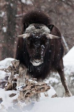 Krachtige gehoornde harige kop op de achtergrond van de stomp. muskusossen onder sneeuwval in de win van Michael Semenov