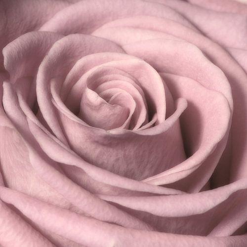 Rose van Jessica Berendsen