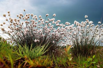 Eriophorum Wollgräser in der Blüte