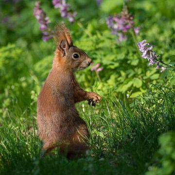 Eichhörnchen in der Frühlingswiese von Tobias Luxberg