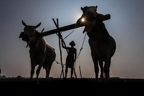 Boer in Mandelay bewerkt op traditionele wijze de akker met een ploeg voorgetrokken door ossen. Wout