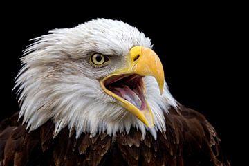 screaming eagle van gea strucks