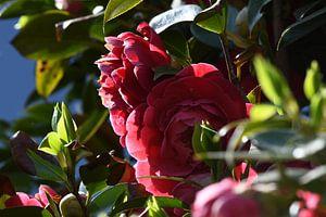 Pioen rozen in de tuin  van