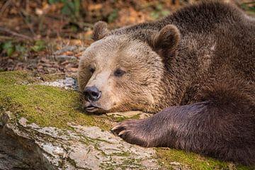 Bär macht Pause von