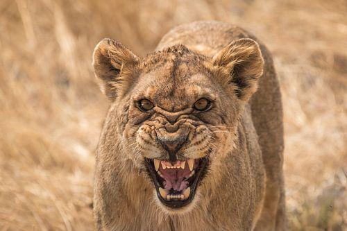 Boze leeuw Namibie
