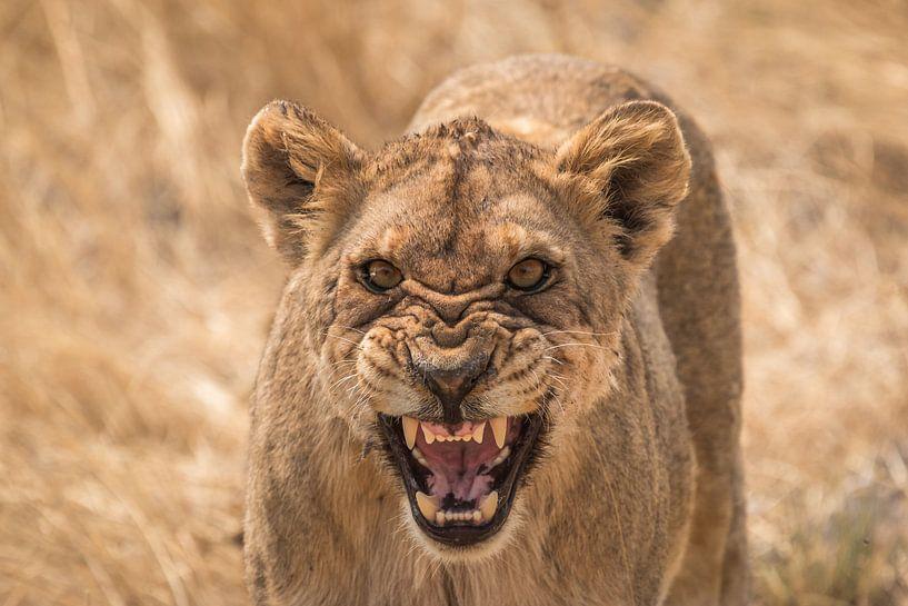 Boze leeuw Namibie van Eefke Smets