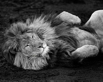 Lion relaxant sur Patrick van Bakkum