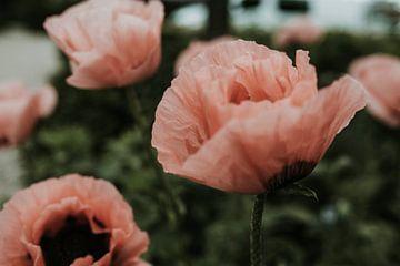 Roze klaproos close up | Nederland van Trix Leeflang