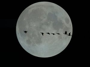 Volle maan met vliegende ganzen van Joke te Grotenhuis