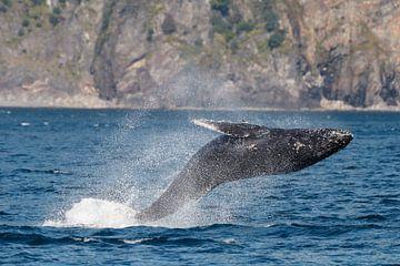 Humpback whale breaching sur Menno Schaefer
