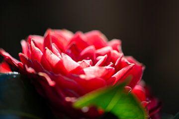 Japanische rote Rose von Mike Duijvelaar