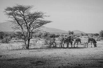 Zebras, die sich im Schatten eines Baumes vor der Sonne verstecken von Dave Oudshoorn