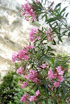 rosa Blüten mit Stein im Hintergrund von Carmela Cellamare