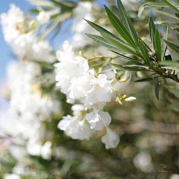 Witte Oleanders sur