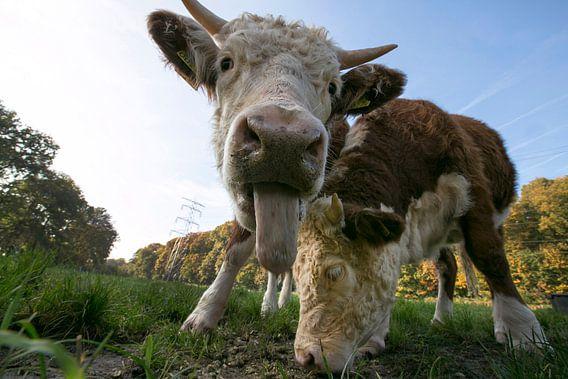 Twee Hereford koeien.