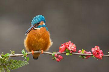 Eisvogel auf Blumen von Jeroen Stel