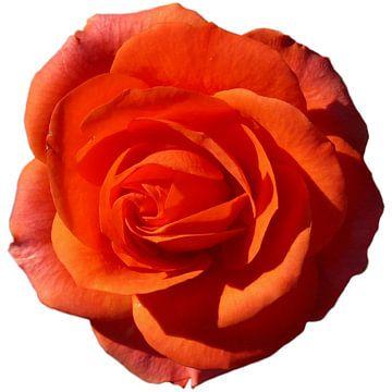 oranje roos  van daphne houtman