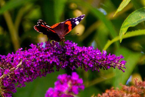 Atalanta (vlinder) op vlinderstruik