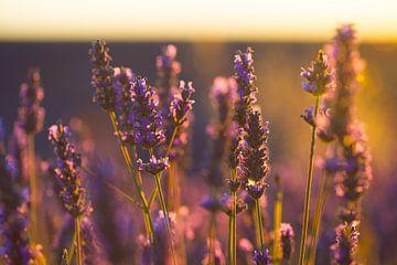 Lavendel Valensole 5 van Vincent Xeridat