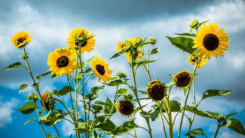 Sonnenblumen van Holger Debek