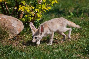 Süßer verlassener Fuchs Fenech (Exupery-Roman, kleiner Prinz) auf dem grünen Gras. Ein wunderschönes von Michael Semenov