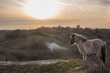 Konikpaard op een duintop met tegenlicht van Marcel Klootwijk