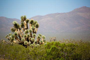 Joshua tree in Amerika van